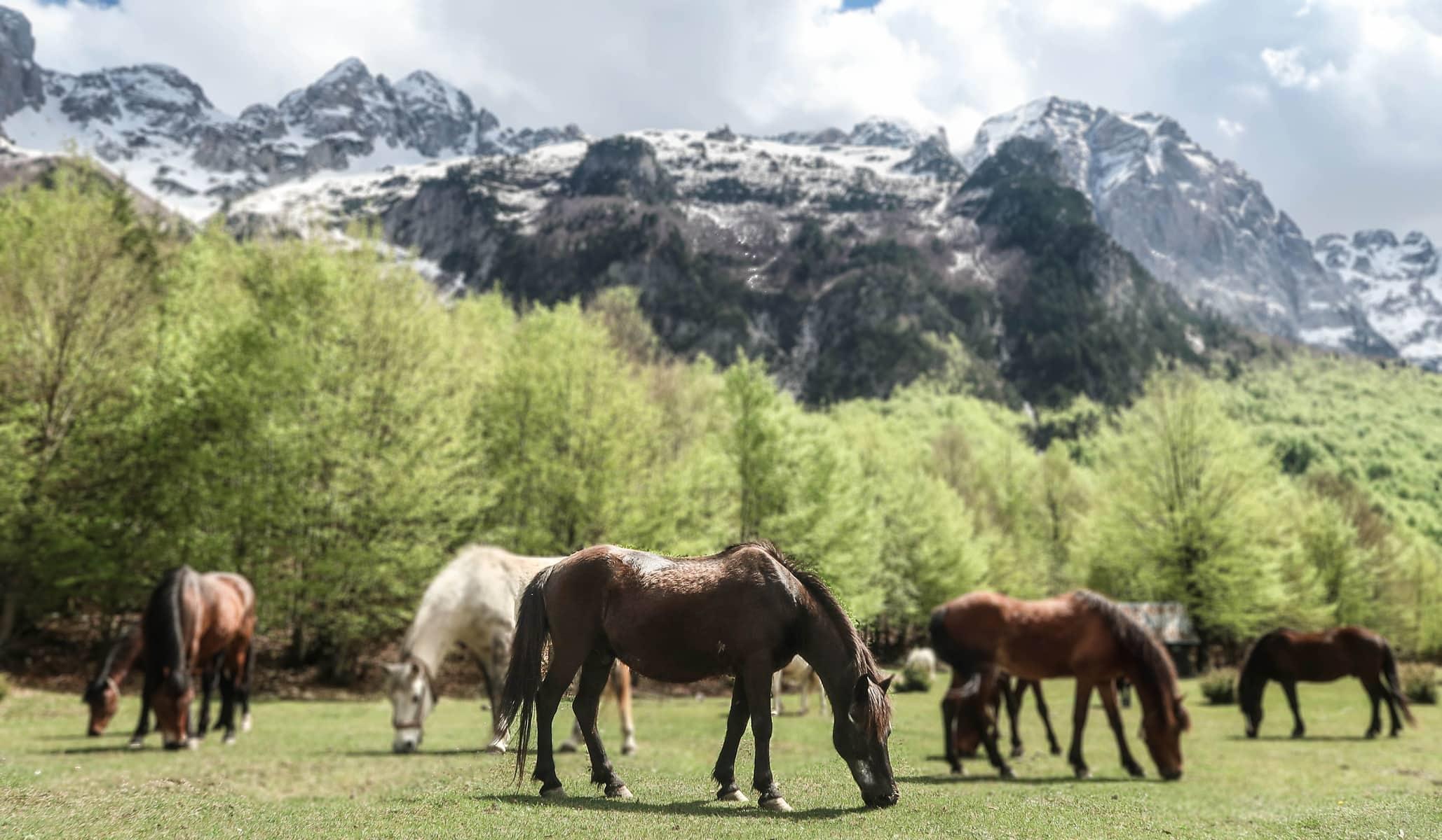 Konie w Valbone, Albania