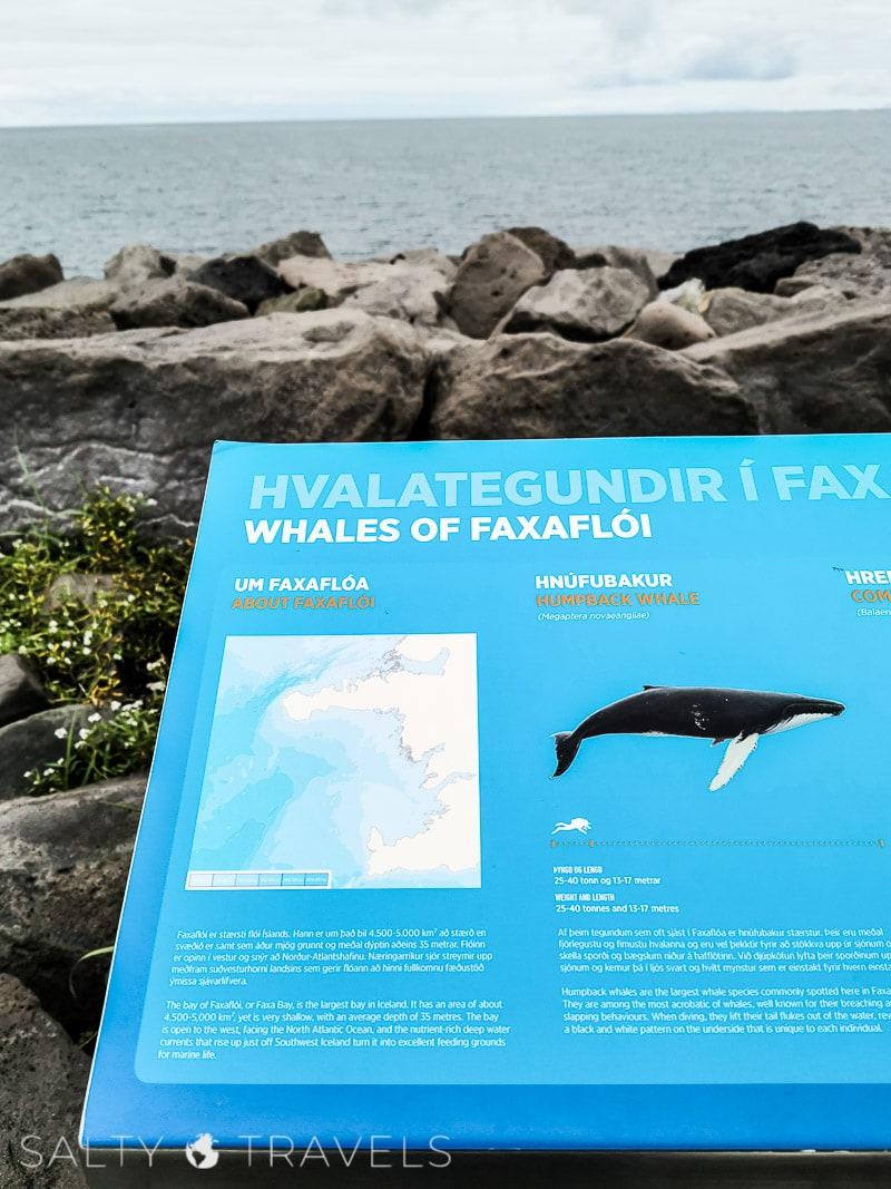 wieloryby w Reykjaviku