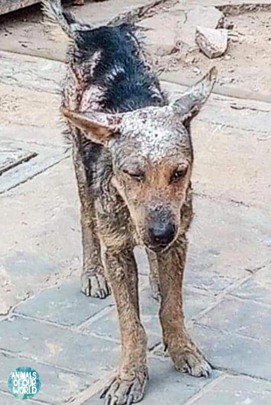 Sick dog found while travelling Animalsofourworld